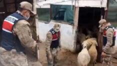Malatya Jandarması 50 saatlik kamera görüntüsü ile koyun hırsızlarını yakaladı